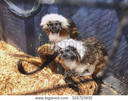 A Cotton Top Tamarins In Closeup, Tropical Critically Endangered Monkey From Colombia In The Cage.