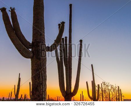 Saguaro Sunset. Silhouette Of Large Saguaro Cactus In Bloom At The Saguaro National Park Outside Of