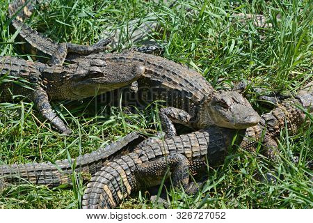 Sunny Summer View On Several North American Alligators, Huddled Close Together In A Grassy Habitat.