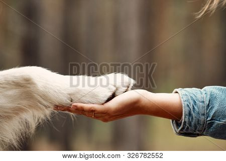Dog Is Giving Paw To The Woman. Dogs Paw In Humans Hand. Domestic Pet