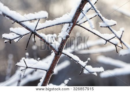 Snow Covered Tree Branches. Winter Park Cold Cold Weather Scene. Shallow Depth Of Field