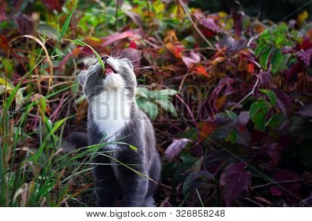 Grey White Kitten Eats Green Grass. Hungry Cat Eating Grass In The Garden