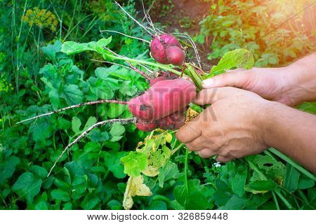 Radish Harvest In The Hands Of A Farmer. Organic Vegetables