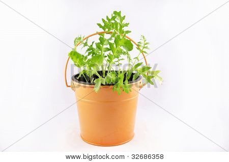 Fresh rocket planted in the orange metal bucket