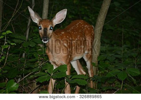 Striking Summer Evening Closeup On Spotted Whitetail Deer Fawn, Standing Still In An Upland Forest H