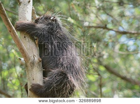Bright Summer Closeup On A Solitary North American Porcupine, Steadily Climbing Up A Bare Tree Trunk