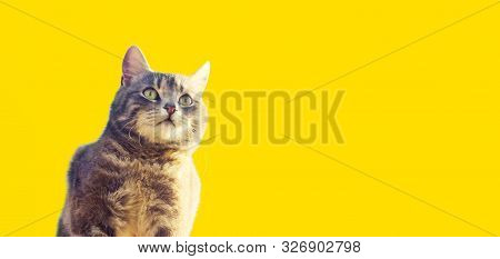 Cute gray cat looks into the distance with curiosity on a yellow background. Interest, high attention and caution. Curious pet in search of adventures, events. Hunting instincts, copy space, banner poster