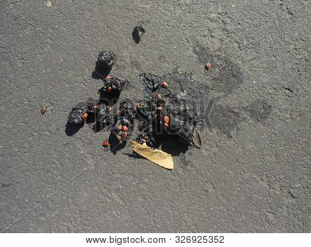 Dark Coyote Scats On Paved Surface In Plymouth,california
