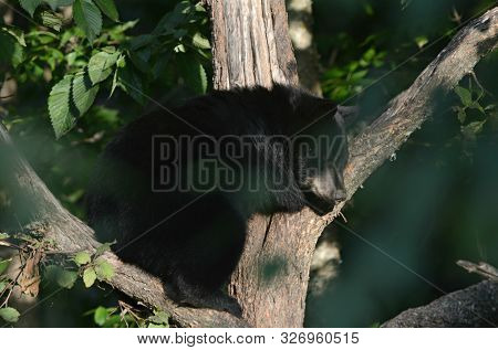 Sunny Summer Capture Of A Winsome Black Bear Cub, Quietly Sitting In The Cleft Of A Bare Tree Trunk.