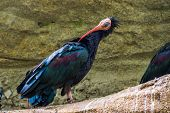 closeup portrait of a northern bald ibis preening its feathers, tropical non wading bird specie from Africa poster
