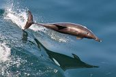 Common Dolphin jumping in the wake of a boat poster