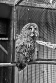 Animal shot capturing owl. Wild life. Gorgeous big bird sit in cage. Calm and peaceful. Ornithology concept. Owl outdoor shot. Owl typical species for many countries. Owl in zoo cage. poster