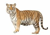 Portrait of a Royal Bengal tiger with isolated white background. poster