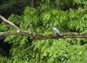 A male Belted Kingfisher (Megaceryle alcyon) perched on a dead tree limb. poster