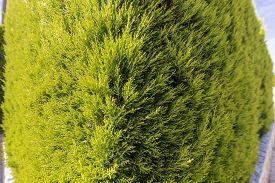 Branch Of Green Thuja Occidentalis, Corner View