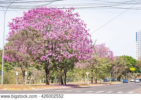 View Of A Ipe Tree With Pink Flowers On The Central Flower Bed Of Via Park At Campo Grande Ms, Brazi