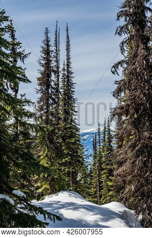 Evergreen Trees In A Winter Forest With Fresh Snow During Sunny Day