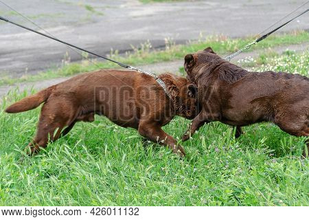 Dog Fight. Two Aggressive Brown Labrador Dogs On Green Grass. Chocolate Labrador Males Fighting For