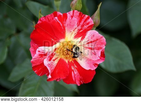 A Bee Pollinating A Red Bicolor Knockout Rose Flower