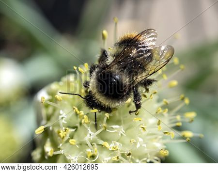 Bumblebee Pollinates Flowering Onions In The Garden, Macro