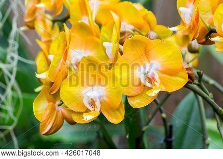 Yellow Orange Ochid Flowers On A Green Background