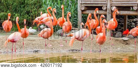 Panorama Of Colorful Flamingos Standing In The Water