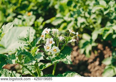 White Potato Flowers On A Field. Blossoming Potatoes In The Garden. Harvest Potatoes. Arid Year With
