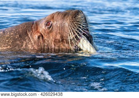 Adult walrus, Odobenus rosmarus, swimming in the Arctic Ocean off the coast of Svalbard. Side profile closeup showing the face emerging from the water.