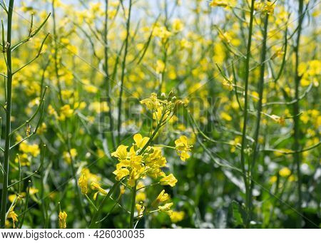 Rapeseed Or Canola In Blooming, Brassica Napus, Close Up, Selected Focus.