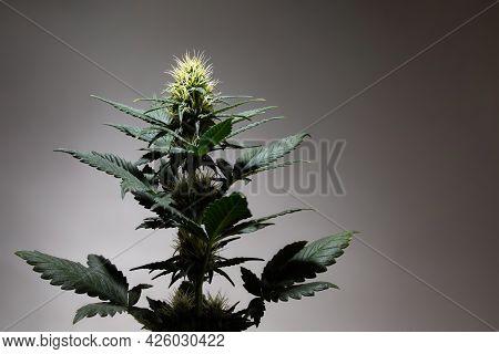 Cannabis Marijuana Or Cannabis Plant On A Dark Background. Flowering Hemp Plant On Gray Backdrop In