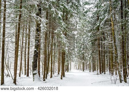 Snow Covered Road Throung Fir And Birch Trees In Winter Forest