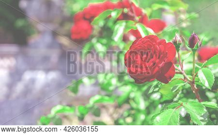 Blooming Red Rose With Green Leaves In The Haze Grows In The Garden Against A Blurred Background Of