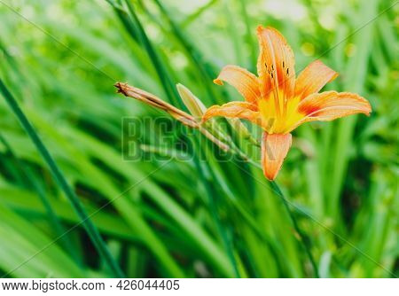 Small Vivid Orange Flower Of Lily In Garden In A Sunny Summer Day, Beautiful Outdoor Floral Backgrou