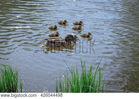 Duck With Ducklings, Mother Duck With Her Family On The Water, Taking Care Of Offspring, Brood Of Du