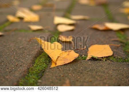 Close-up Beautiful Yellow Birch Leaves Lie On The Asphalt Road In The Autumn Park, Natural Banner. A