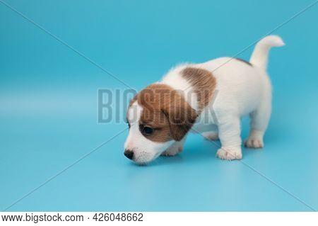 Close-up Cute Little Puppy Of Jack Russell Terrier Dog. Copyspace For Ad, Design. White Cute Puppy O