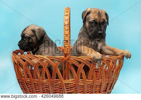 Two Cute Cane Corso Puppies Are Sitting In A Basket. Puppies In A Basket On A Blue Background. Cane