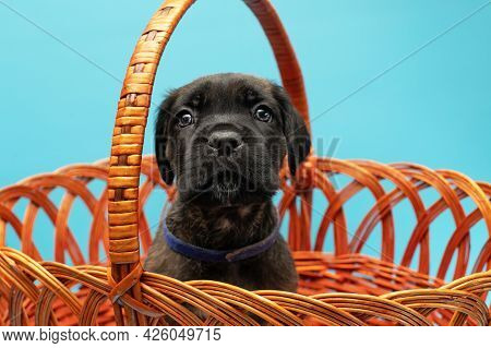 Cute Puppy In A Basket. Black Puppy On A Blue Background. Little Cane Corso. Dog Show. Pedigree Dog.
