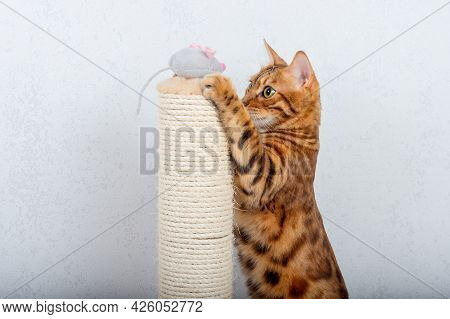 Bengal Cat Plays With A Gray Plush Mouse Next To A Scratching Post