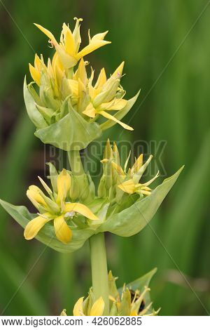 Great Yellow Gentian, Gentiana Lutea, Flower Spike With A Blurred Background Of Leaves.