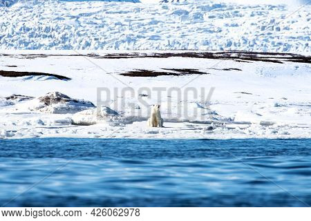 Adult polar bear sits at the edge of the fast ice, Svalbard, a Norwegian archipelago between mainland Norway and the North Pole. A glacier is in the background and the Arctic sea is in the foreground.