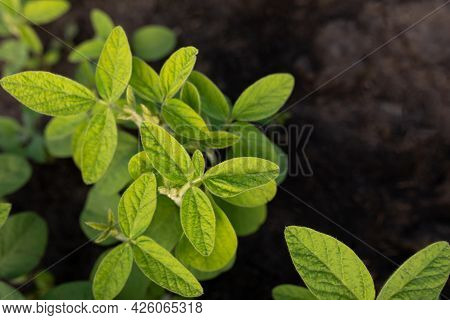 Top View Of Clean Young Soybean Leaves And Black Soil. Natural Plant Background On An Agricultural T