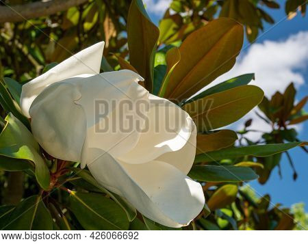 Large-flowered Magnolia, Southern Magnolia Bull Bay, An Evergreen Tree With Leathery Leaves. High Qu