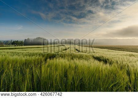 Cornfield In Morning Mist, Singen, Konstanz District, Baden-wuerttemberg, Germany