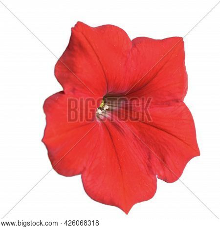 Petunia Flower, Close-up. Flower With Variegated Petals. Isolated On White Background.