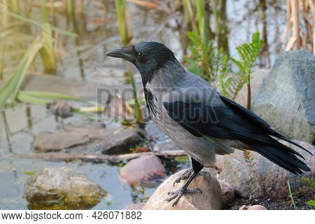 Close-up Of A Crow Standing On A Stone