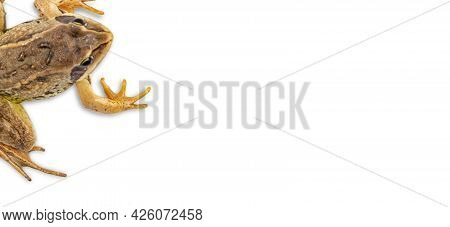 Paws Of A Common Frog As A Frame On White. Top View, Place For Text, Copy Space.