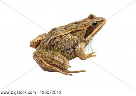 Common Brown Frog Close-up Isolated On White.