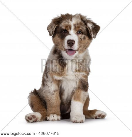 Cute Red Merle White With Tan Australian Shepherd Aka Aussie Dog Pup, Sitting On Ass Facing Front. L