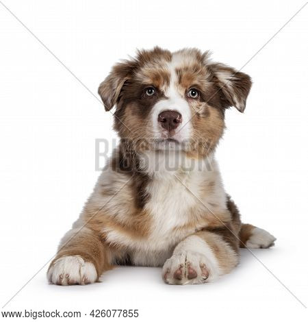 Cute Red Merle White With Tan Australian Shepherd Aka Aussie Dog Pup, Laying Down Facing Front. Look